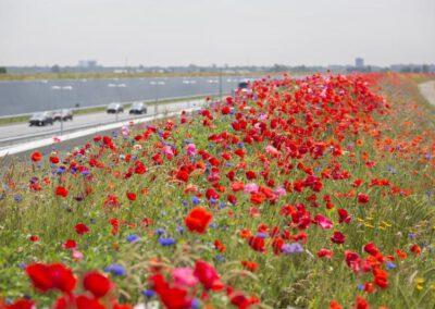 Windpark Fryslân en samenwerkingspartners starten met het inzaaien van een 'Honey Highway'